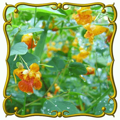 Impatiens capensis (Spotted Touch.