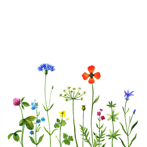 Best Wildflower Illustrations, Royalty.