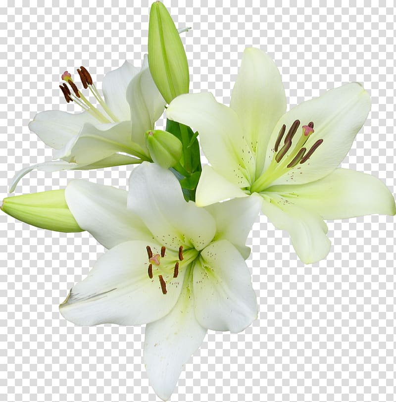 White Asiatic lilies, Flower Runner Easter lily Wildflower.