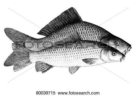 Stock Image of DEU, 2009: Common Carp, European Carp (Cyprinus.