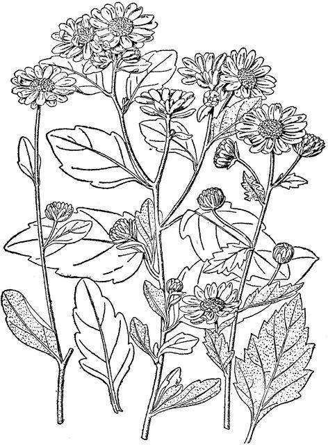1000+ ideas about Chrysanthemum Morifolium on Pinterest.