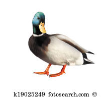 Wildfowl Illustrations and Clip Art. 831 wildfowl royalty free.