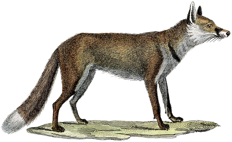 Vintage Fox Image.