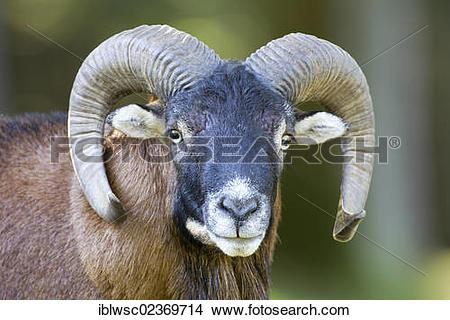 "Stock Photo of ""Wild sheep (Ovis orientalis), portrait, Wildpark."