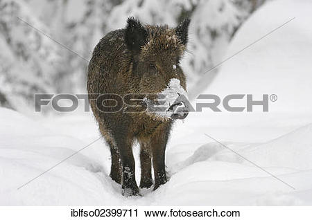 """Stock Photography of """"Wild boar (Sus scrofa) standing in the snow."""