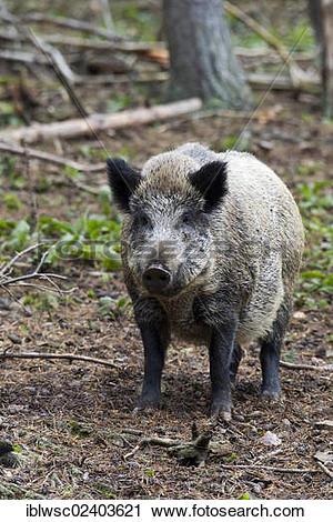 "Stock Photography of ""Wild boar (Sus scrofa), Wildpark Daun game."