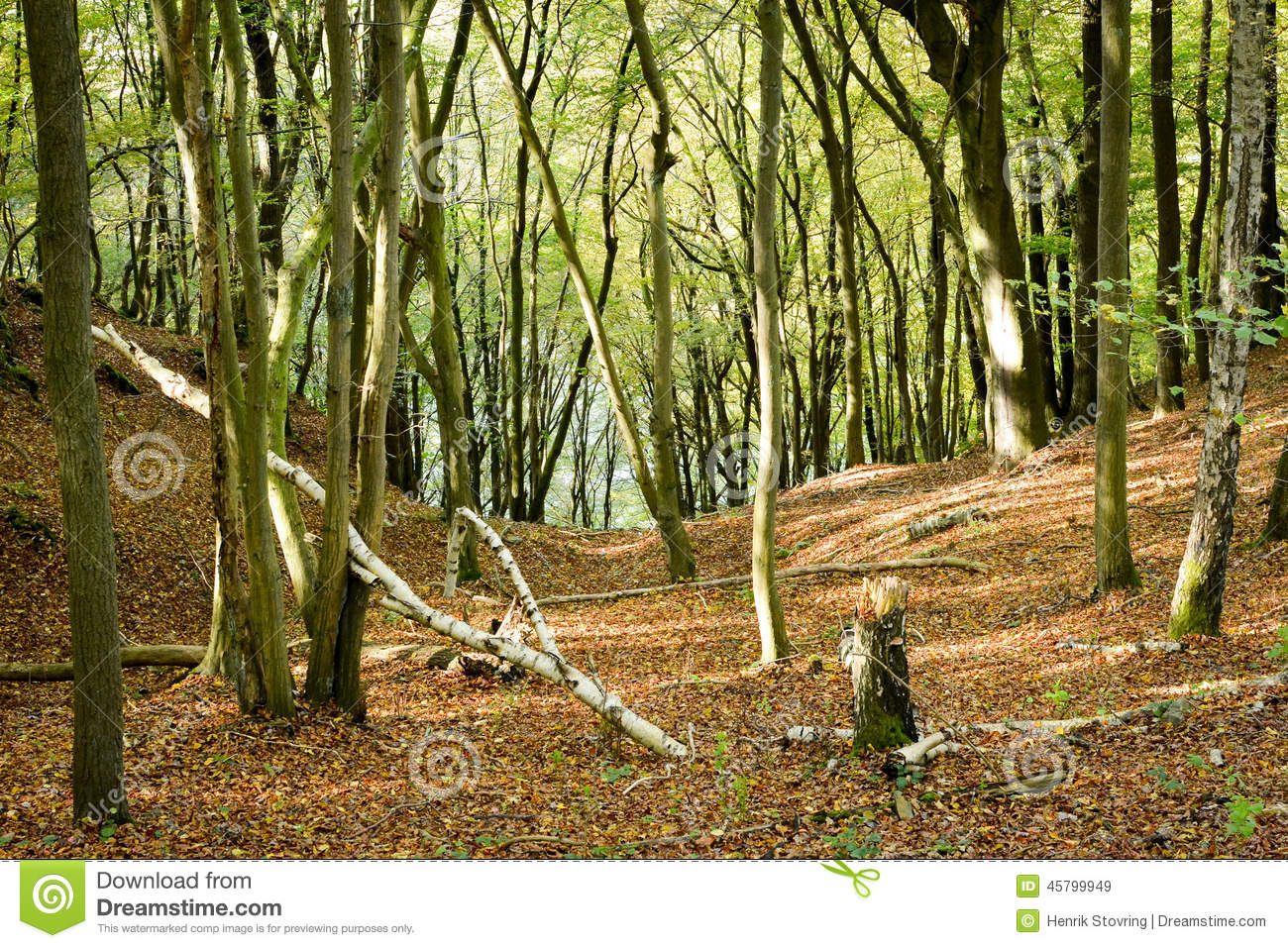 Beech Wood, Eifel National Park, Germany Stock Photo.