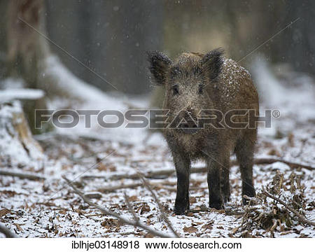 """Pictures of """"Wild boar (Sus scrofa) in winter, Daun, Vulkan Eifel."""
