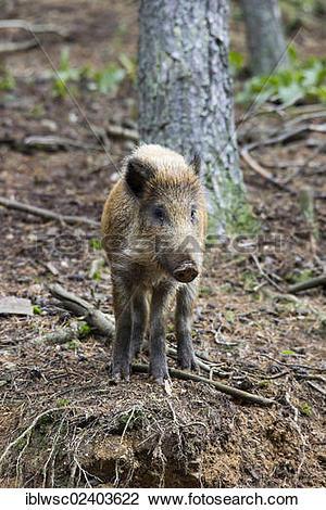 "Stock Photo of ""Wild boar (Sus scrofa), Wildpark Daun game park."