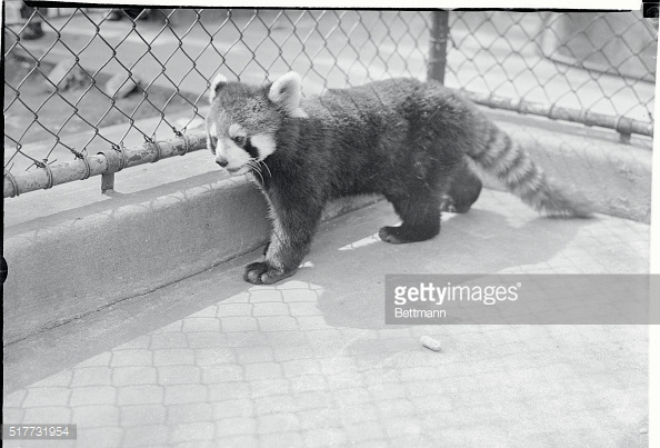 Raccoon Like Animals Stock Photos and Pictures.