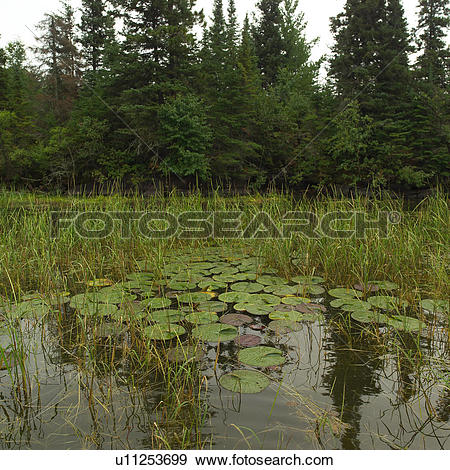 Stock Photograph of Wild plant growth in Lake of the woods.