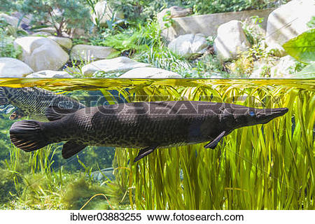 "Stock Image of ""Gar (Lepisosteidae), aquarium, Wilhelma Zoo."