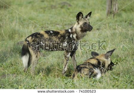 Wild Dog In Green Grass Stock Photos, Royalty.