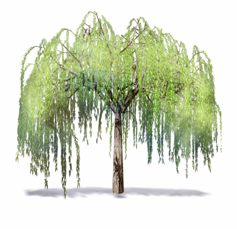 Willow Tree Transparent Png Download Willow Tree Images.