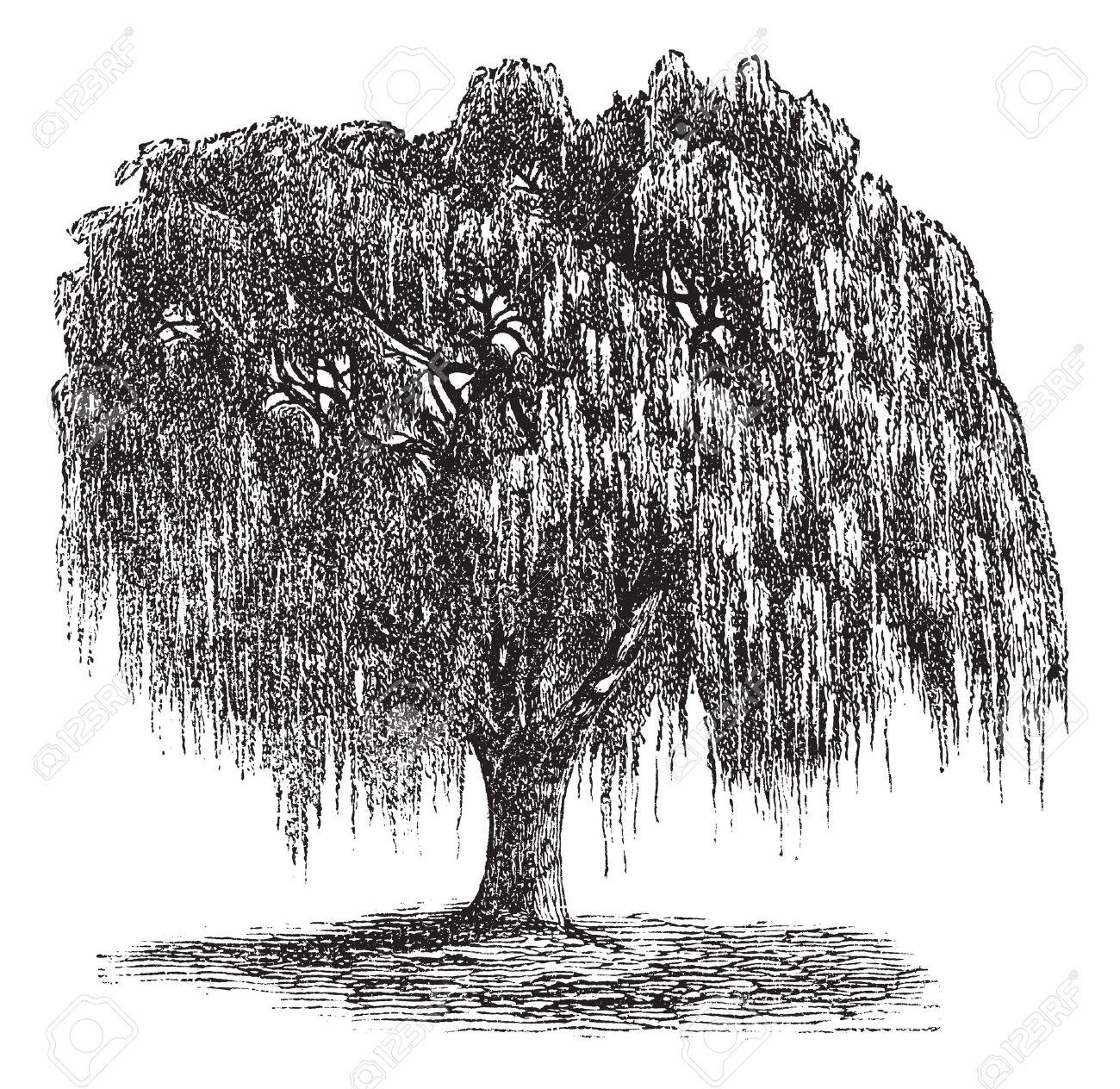 Babilonia Willow O Salix Babylonica O Sauce De Pekín O El Sauce.