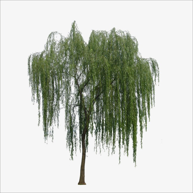 Willow, Willow Clipart PNG Transparent Image and Clipart for Free.