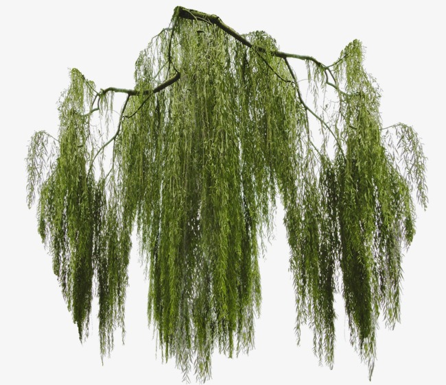 Willow, Trees, Weeping Willow PNG Transparent Image and Clipart for.