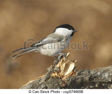 Pictures of Willow Tit, Parus montanus, on thick branch with brown.