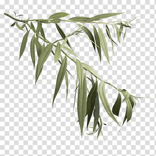 Salix alba Askur Weeping willow Tree Leaf, TWIG transparent.
