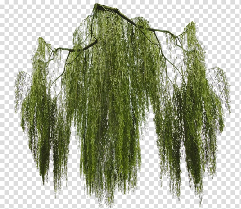 Green leafed illustration, Weeping willow Tree Branch Giant.