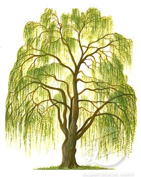 Drawing weeping willow tree clip art.