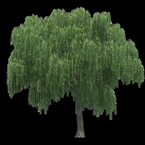 Weeping willow Tree Rendering.