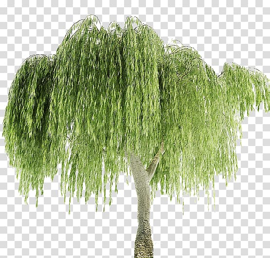 Weeping willow Weeping tree Plant Leaf, tree transparent.