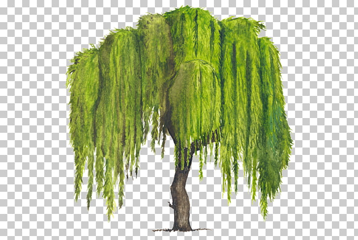 Tree Weeping willow Woody plant Drawing, arboles, green.