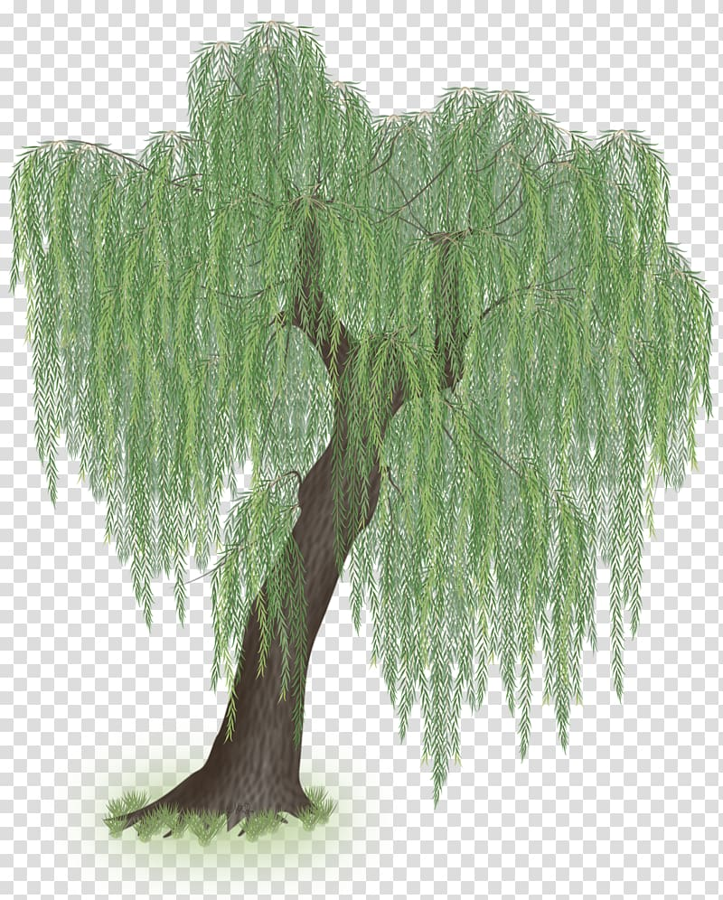 Weeping willow Tree Trunk Branch, willow tree transparent.