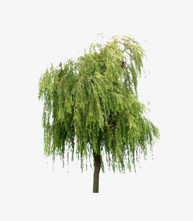 Willow Trees, Willow, Trees, Plant PNG Transparent Image and Clipart.