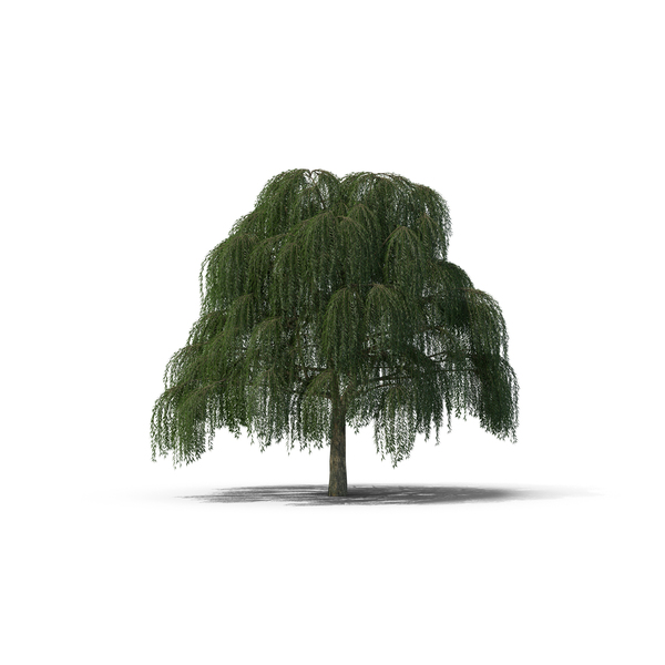Willow Tree PNG Images & PSDs for Download.