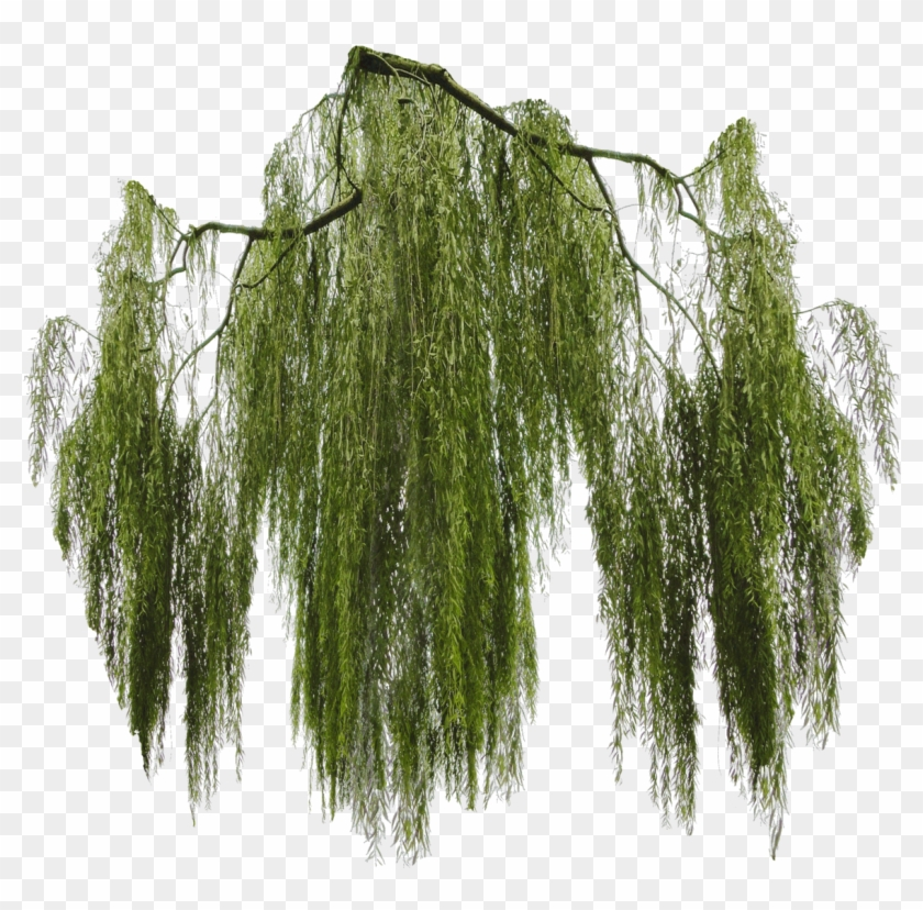 Willow Tree Png, Transparent Png.