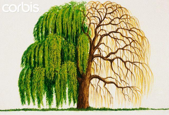 Weeping Willow Tree Drawings … in 2019.
