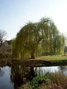 Weeping Willow By Pond in 2019.