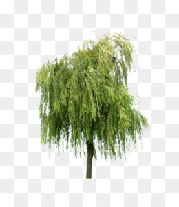 Willow Tree PNG.