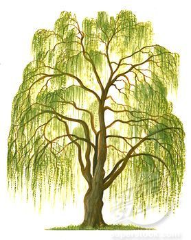 Image result for weeping willow drawing in 2019.