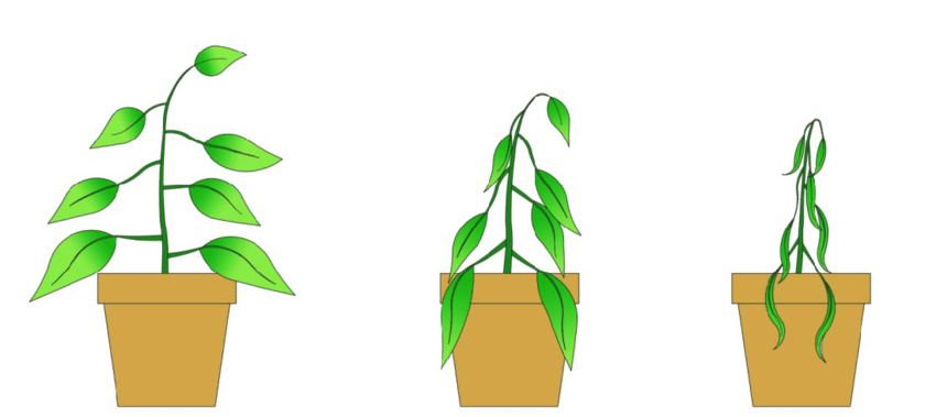 Diagram of wilting stages: Stage 1 (Left) Initial wilt, Stage 2.