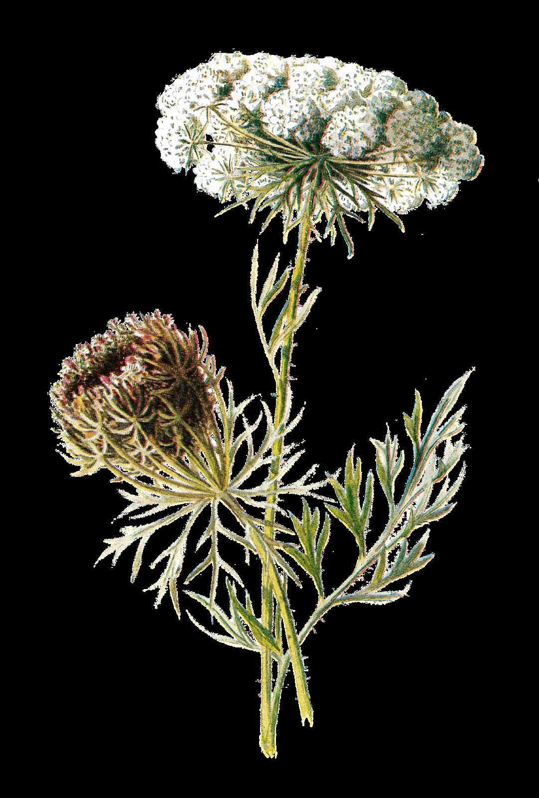 Dandelion clipart wind pollination, Dandelion wind.