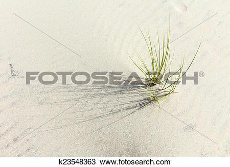 Stock Photo of Wind blown grass on sand dune k23548363.