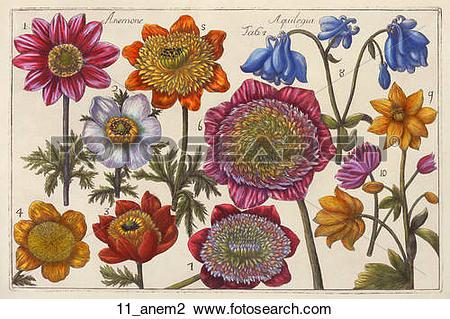 Clip Art of Antique Floral Illustration of Anemone or Windflower.