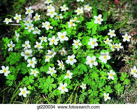 Stock Photo of Korea, Anemone koraiensis, anemonem, windflower.