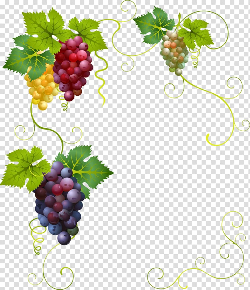 Grapes illustration, Wine Grape Divertimento , painted.