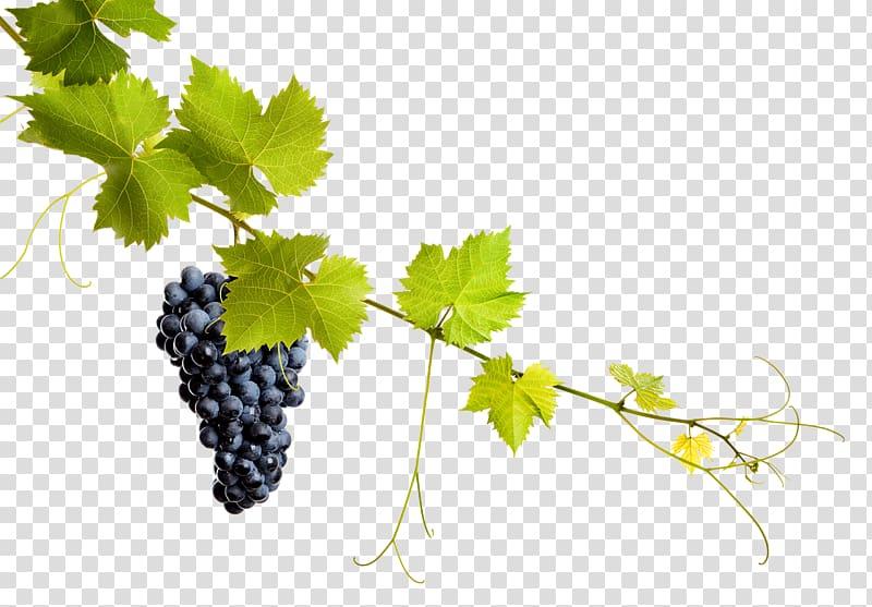 Common Grape Vine Grape leaves Wine, grape transparent.