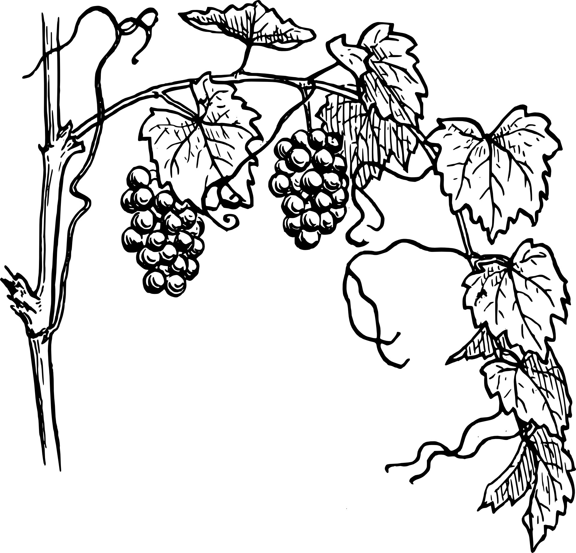 Grapes Line Drawing.