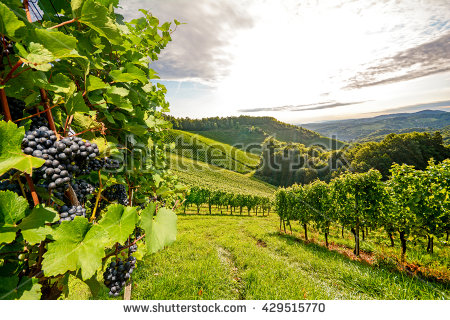 Vineyard Stock Photos, Royalty.