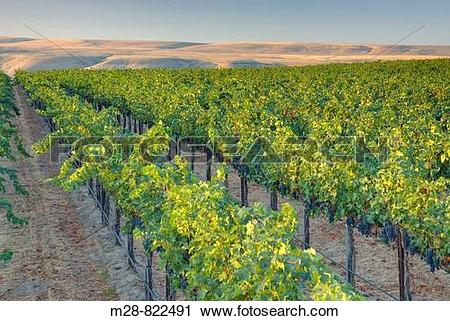 Stock Photography of View of vineyards on Goose Ridge a premium.