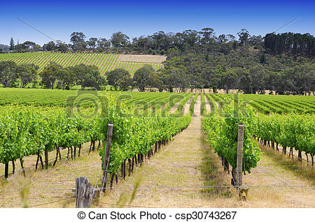 Stock Image of Rows of grapevines taken at Australia's prime wine.
