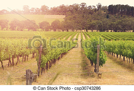 Pictures of Rows of grapevines taken at Australia's prime wine.