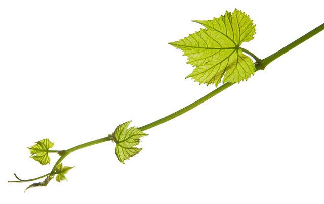 Wine Leaves.