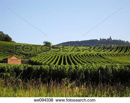 Pictures of Vineyard Riesling in july Wine road Rorschwihr, Haut.